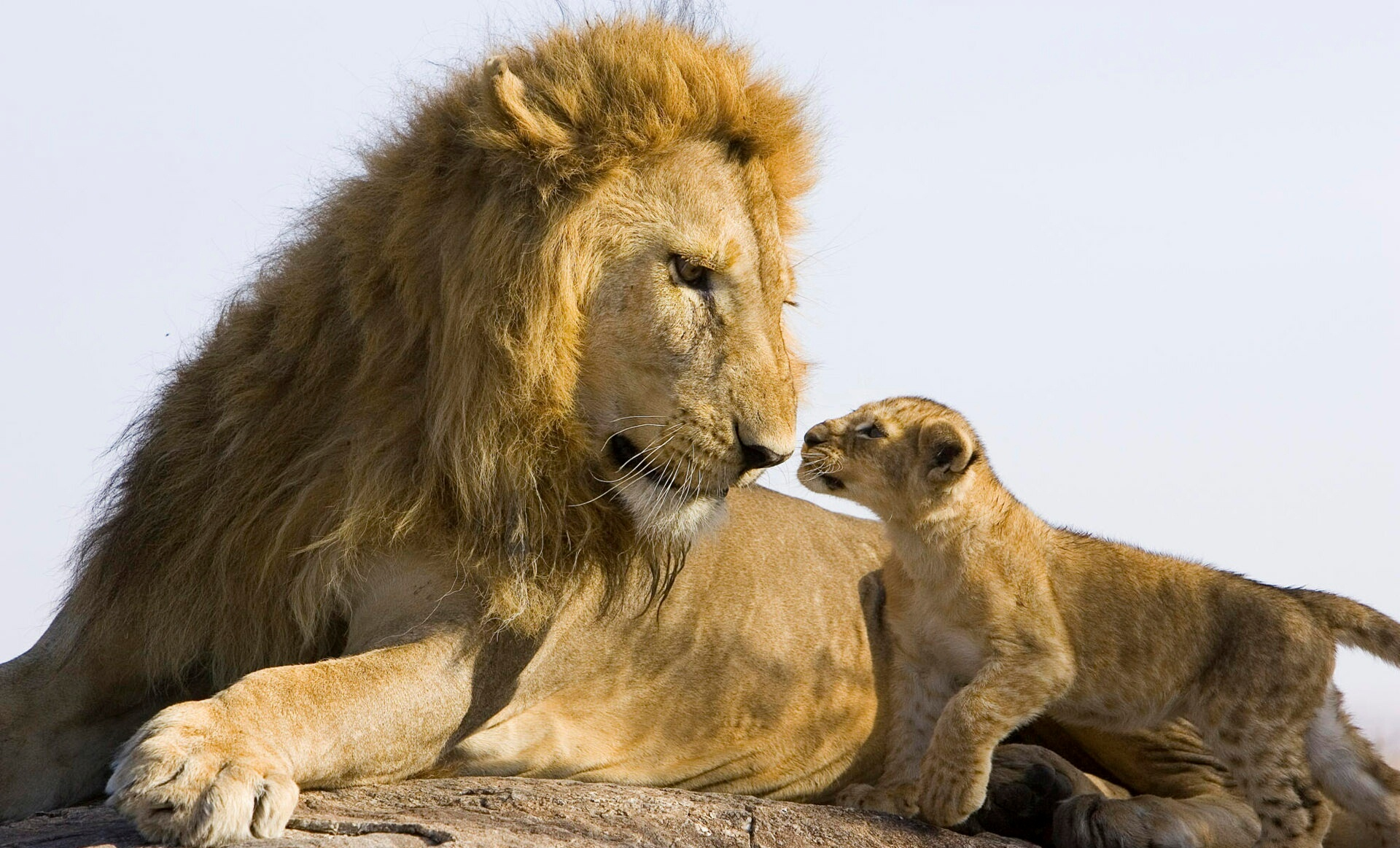 5228-cute-lion-hd-wallpapers – african view tours and safaris